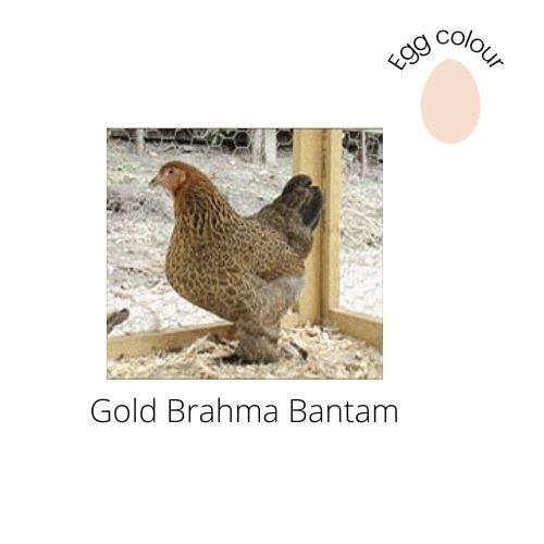 Gold Brahma Bantam