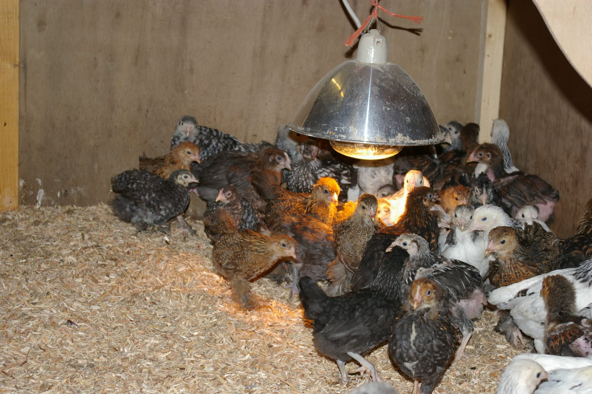 Few week old chicks for sale by Perfect Poultry