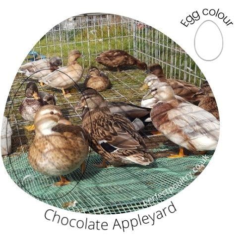 Chocolate Appleyard Ducks