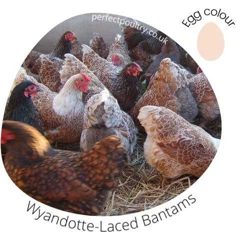 Wyandotte-Laced Bantams