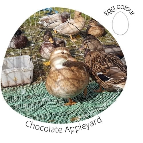 Chocolate Appleyard Duck
