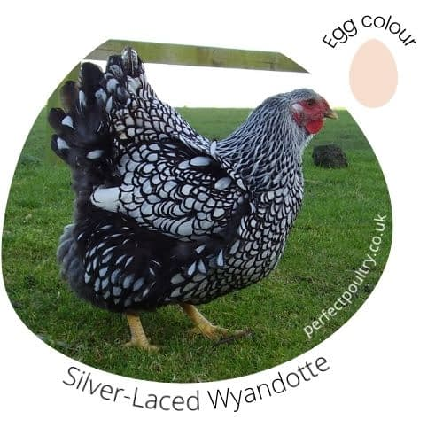 Silver-Laced Wyandotte