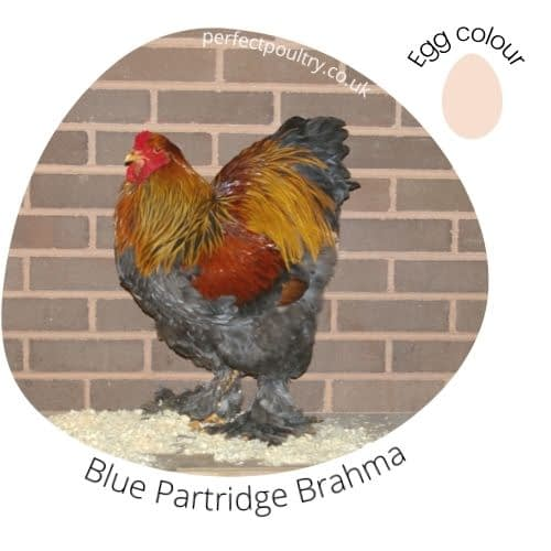 Blue Partridge Brahma Cockere