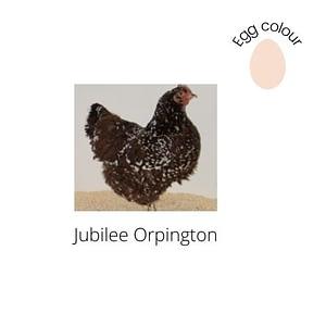 Jubilee Orpington