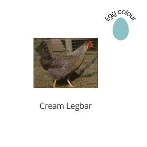 Cream Legbar