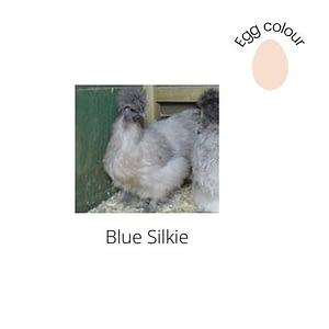 Blue Silkie