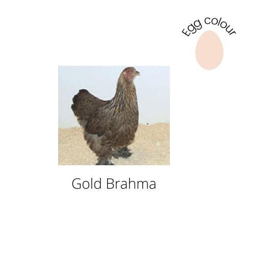 Gold Brahma