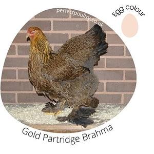 Gold Partridge Brahma