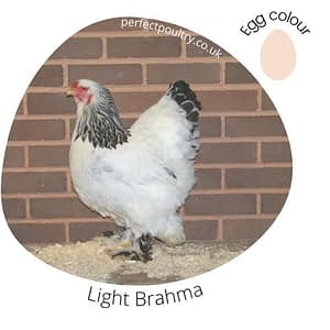 Light Brahma
