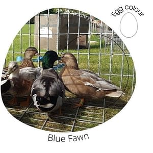 Blue Fawn Duck