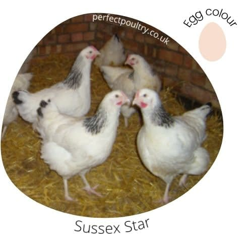 A Sussex Star Hybrid Chicken