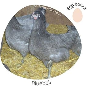 Bluebell Chicken