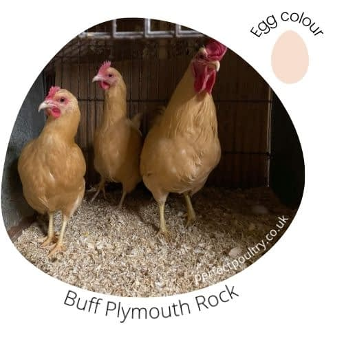 Buff Plymouth Rock for sale by Perfect Poultry (2)