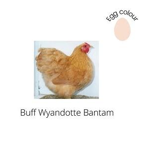 Buff Wyandotte Bantam