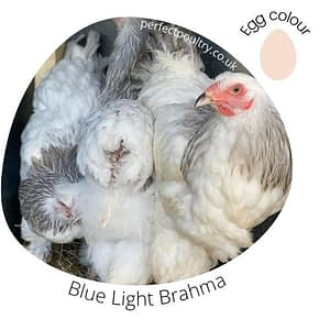 Light Blue Brahmas for sale by Perfect Poultry