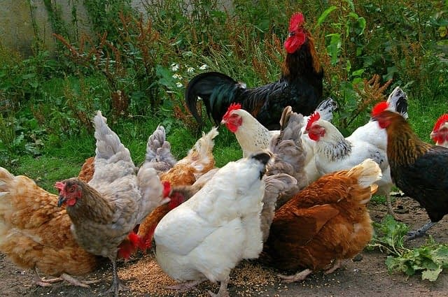 General Advice on Chicken Health and Care of Chickens