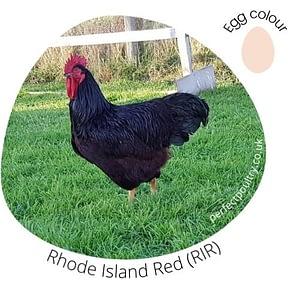 Rhode Island Red (RIR)