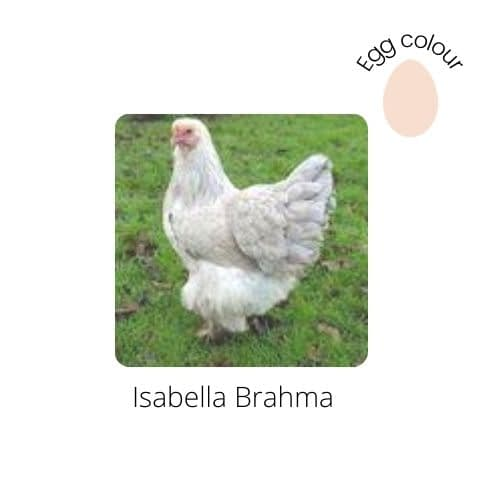 Isabella Brahma for sale by Perfect Poultry